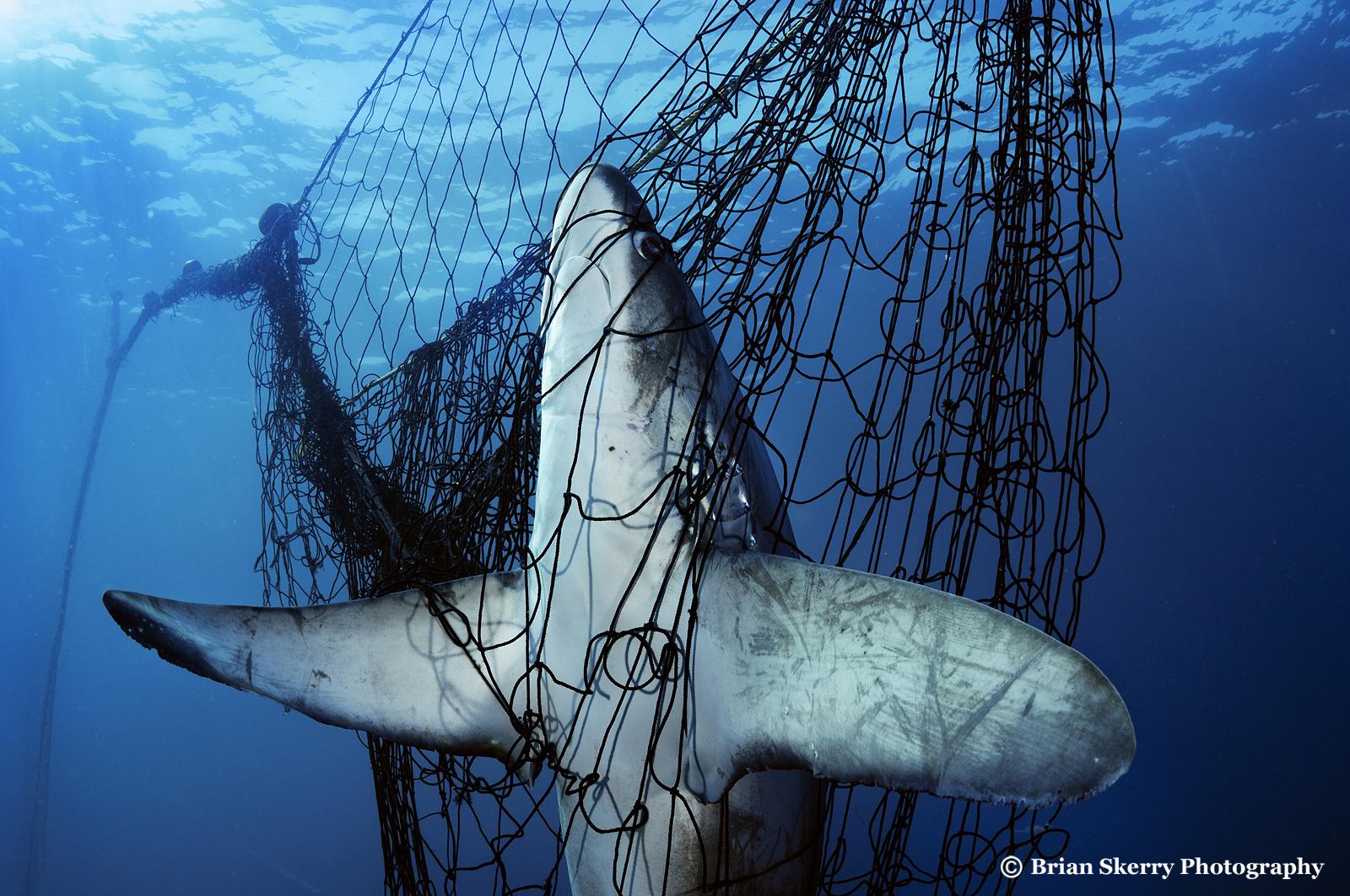 Thresher shark dead in gill net in Mexico's Gulf of California.
